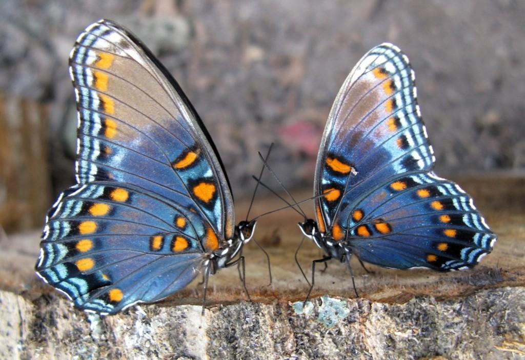 Indahnya Kupu Kupu Bersayap Biru Muda